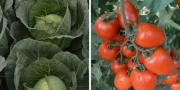 tomatele inlocuite cu varza