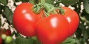 tomatele romanesti