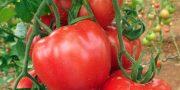 subventia producatorilor de tomate