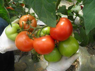 Programul de sprijin pentru tomate