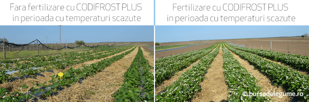cum protejam pomii fructiferi de inghet utilizand codifrost plus