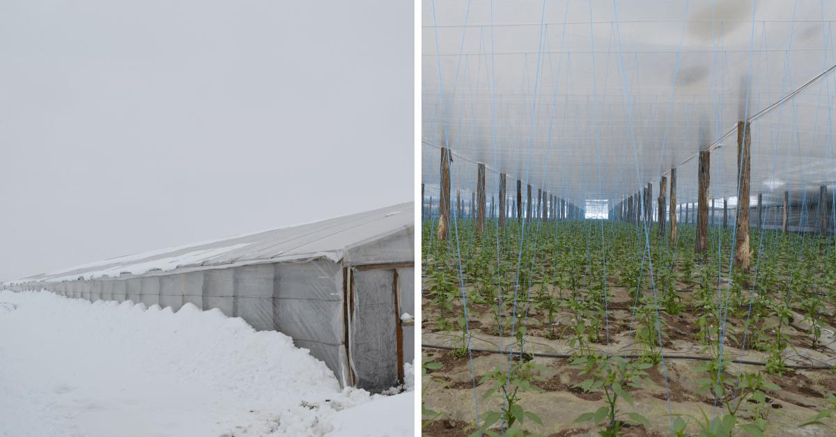 Care sunt temperaturile optime pentru dezvoltarea culturilor legumicole