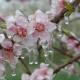 cum protejam pomii fructiferi de inghet