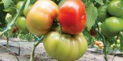 perioada pentru programul de tomate