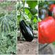 scheme de tratamente la culturile de legume