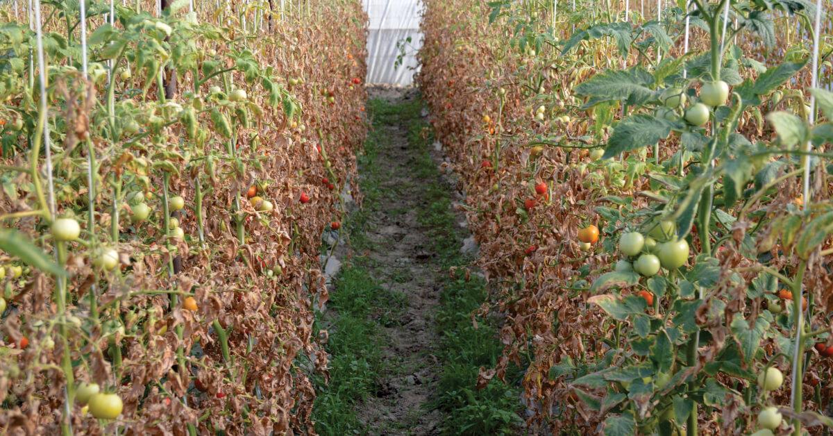 cultura de tomate afectata de tuta absoluta
