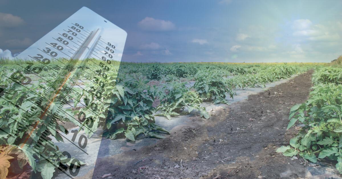 Culturi afectate de temperaturile ridicate